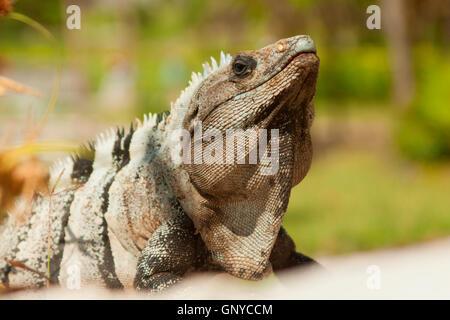 Iguana posant pour la photographie au Mexique. Banque D'Images