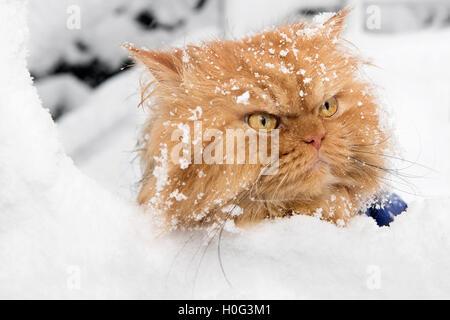 Portrait de chat Persan orange dans la neige Banque D'Images