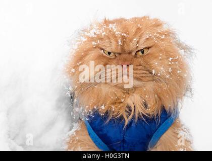 Portrait de chat Persan dans la neige Banque D'Images