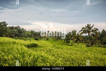 Jatiluwih vert terrasse de riz, Bali, Indonésie Banque D'Images
