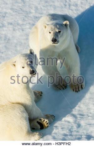 Oursons polaires (Ursus maritimus), dans l'Arctique canadien. Banque D'Images