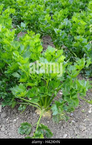 Jardin de légumes, céleri-rave, Apium graveolens var. rapaceum, Banque D'Images