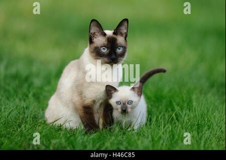 Les chats siamois Seal Point, mère avec de jeunes animaux, pré, assis, de face, Banque D'Images