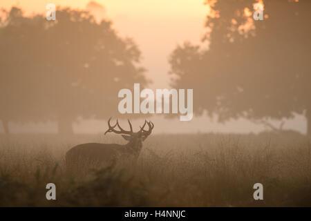 Red Deer stag appelant dans early misty matin au lever du soleil, Richmond Park, Londres, UK. Banque D'Images
