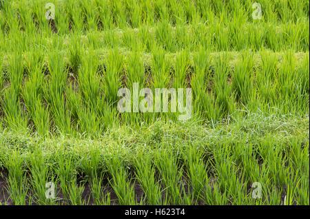 La culture du riz en terrasses dans un riz de, Jatiluwih à Bali, Indonésie. Banque D'Images