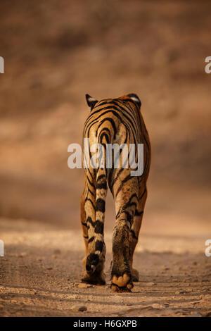 Tigre du Bengale Royal dos de Ranthambhore National Park en Inde. Banque D'Images