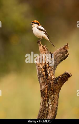 Petit oiseau avec masque perché sur la branche d'un arbre Banque D'Images