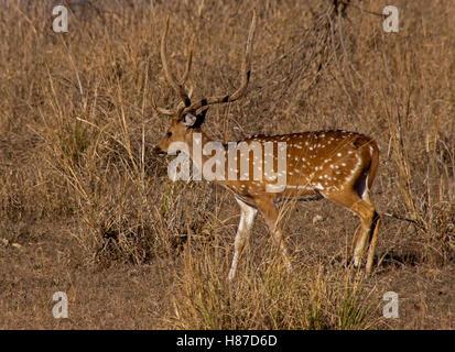 Cerfs mâles indien appelé un Chital dans l'habitat naturel de Kanha Parc National de l'Inde. Spotted deer avec de Banque D'Images