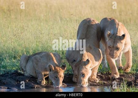 Lionnes (Panthera leo) avec des petits de boire à un point d'eau dans le Masai Mara National Reserve, Kenya Banque D'Images