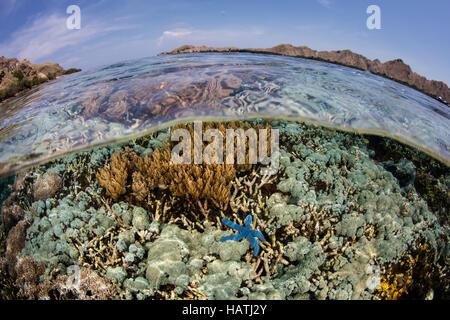La santé de l'ensemble des coraux pousse dans les eaux peu profondes, dans le Parc National de Komodo. Cette région Banque D'Images