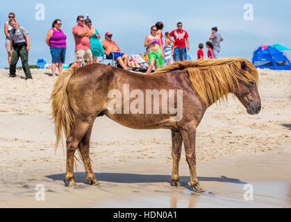 Un poney Sauvage, cheval, de Assateague Island, Maryland, USA sur la plage. Il y a des gens sur la plage en regardant Banque D'Images