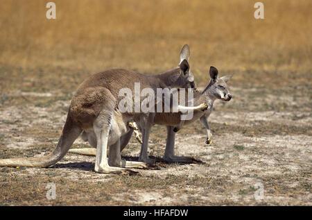 Kangourou rouge, Macropus rufus, mère portant Joey dans sa pochette, l'Australie Banque D'Images