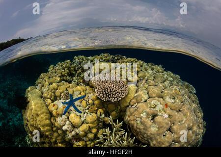 Les coraux croissent dans des eaux peu profondes dans les Îles Salomon. Cette région est connue pour son incroyable Banque D'Images