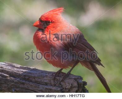 Un mâle Cardinal rouge (Cardinalis cardinalis) assis sur une branche. Banque D'Images