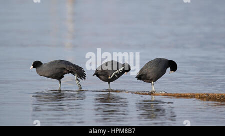 Trois foulques eurasien, Fulica atra, par la suppression de l'eau trois poses différentes avec des réflexions Banque D'Images