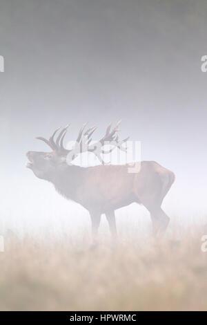 Red Deer (Cervus elaphus) stag beuglant dans les prairies dans un épais brouillard pendant le rut en automne Banque D'Images