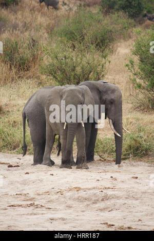 Deux éléphants d'Afrique dans le parc national de Tarangire Banque D'Images