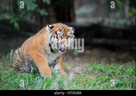 Close up Siberian Tiger Cub in grass Banque D'Images