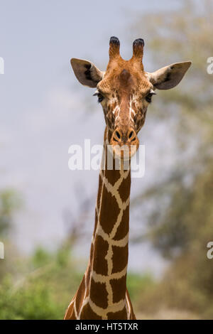 Portrait d'une girafe réticulée (Giraffa camelopardalis reticulata), Samburu, Kenya Banque D'Images