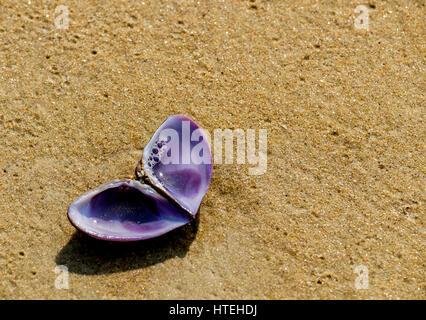 Seashell on seashore à Varca, Goa Banque D'Images