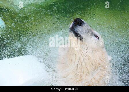 L'ours polaire dans l'eau Banque D'Images