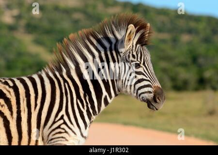 Les jeunes le zèbre de Burchell (Equus quagga burchellii), sur les herbages, parc national Addo, Eastern Cape, Afrique Banque D'Images