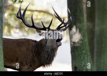 Red Deer (Cervus elaphus) stag roaring ou en appelant au début de brume du matin, montrant souffle Banque D'Images