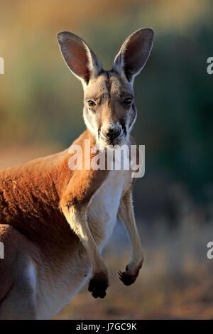 Kangourou rouge (Macropus rufus), mâle adulte, portrait, Sturt National Park, New South Wales, Australie Banque D'Images