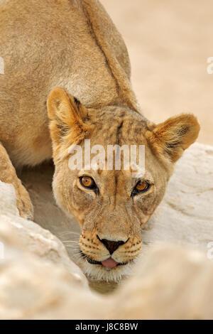 Portrait d'une lionne d'Afrique (Panthera leo), l'eau potable, désert du Kalahari, Afrique du Sud Banque D'Images