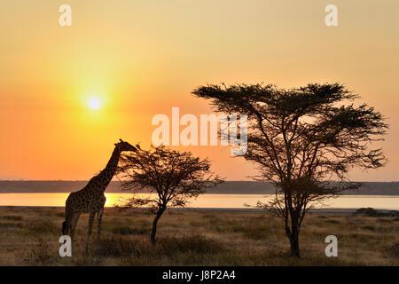 Girafe (Giraffa camelopardalis) manger un acacia avec rétroéclairage et le coucher du soleil, le lac Ndutu Ngorongoro Banque D'Images