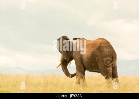 À la recherche d'éléphants d'Afrique dans le lointain en parc national de Tarangire, en Tanzanie. Mange de l'herbe Banque D'Images