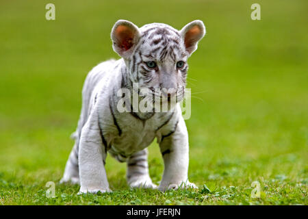 White Tiger, Panthera tigris, Cub Banque D'Images