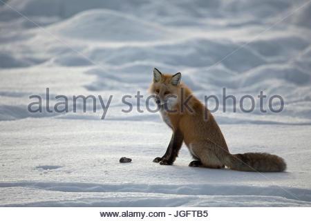Un renard roux, Vulpes vulpes, la chasse dans le Parc National de Yellowstone. Banque D'Images