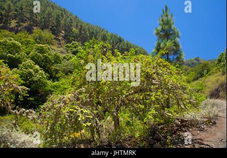Gran Canaria, juillet, le paysage autour de Valsendero, pruniers jaunes avec le lichen et les prunes mûres Banque D'Images
