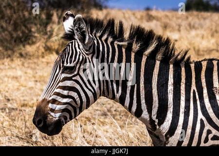 Vue latérale de la tête et des épaules de Zebra Banque D'Images