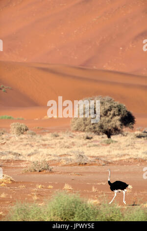Balades d'autruche dans le désert - Namibie Namib Naukluft Banque D'Images