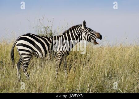 Burchell (commun ou plaine) zebra vocalisant, masai Mara, Kenya Banque D'Images