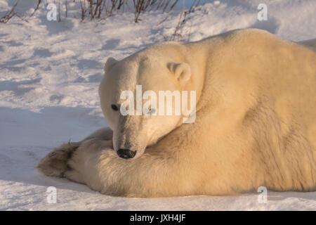 Close-up of hot ours polaire couché sur la neige dans une lumière dorée. Vue avant du visage. Banque D'Images