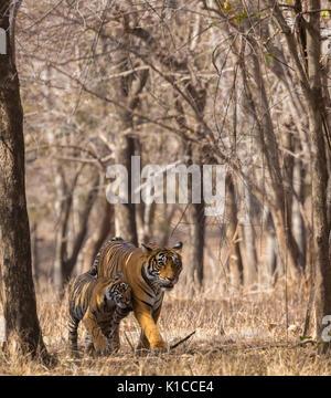 Tiger Cub de câliner mère tigresse dans un beau cadre vertical formé par des arbres à sec Banque D'Images