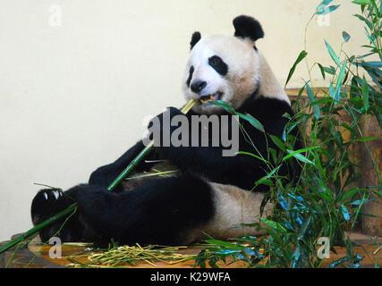 Londres, septembre, UK. Août 24, 2017. Une photo non datée fournie par le Zoo d'Edinburgh montre panda géant Tian Banque D'Images