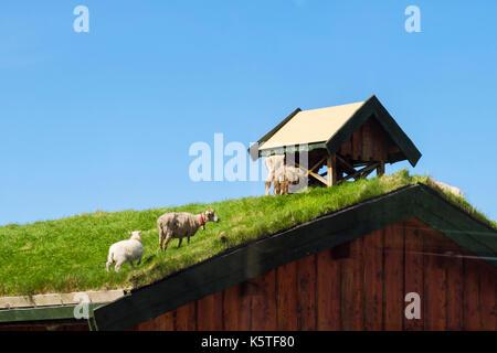 Le pâturage des moutons sur le haut d'un toit de gazon traditionnelle norvégienne. Les îles Lofoten, Nordland, Norvège, Banque D'Images