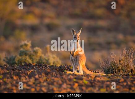 Jeune kangourou rouge (Macropus rufus), Parc National de Sturt, outback NSW, Australie Banque D'Images