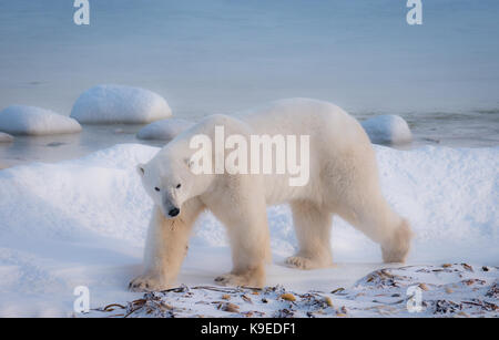 Une famille d'ours polaires marche dans la neige à côté de la Baie d'Hudson, dans le nord du Canada en attente de Banque D'Images