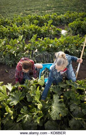 Mère et fille de la récolte à la ferme agriculteurs courgettes Banque D'Images