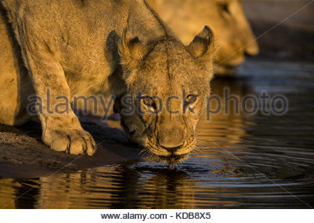 Une lionne, Panthera leo, boire de un déversoir au coucher du soleil. Banque D'Images