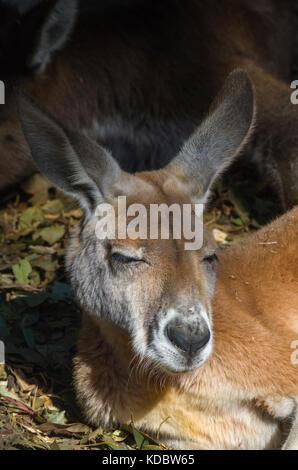 Kangourou rouge (Macropus rufus), de repos à l'ombre. Somersby NSW, Australie. Banque D'Images