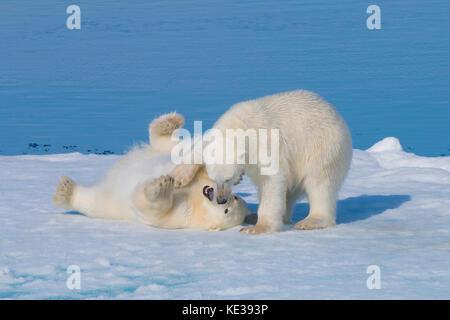 Deux ans d'oursons de l'ours polaire (Ursus maritimus) jouant, archipel du Svalbard, l'Arctique norvégien, Banque D'Images