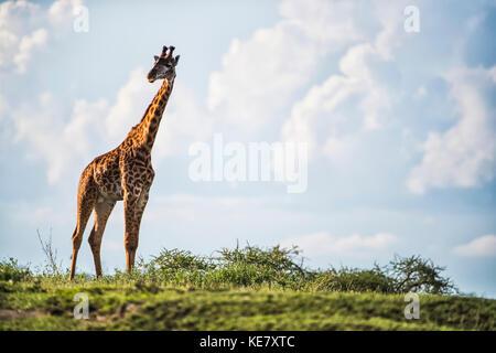 Portrait d'une girafe debout dans le Serengeti, Tanzanie Banque D'Images