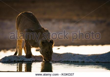 Une lionne, Panthera leo, boire tôt dans le matin à un trou d'eau. Banque D'Images