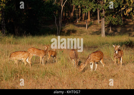 Groupe de cerfs tachetés (Axis axis) dans l'habitat naturel, Kanha National Park, Inde Banque D'Images